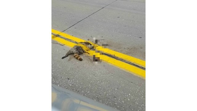 Yellow lines painted over roadkill