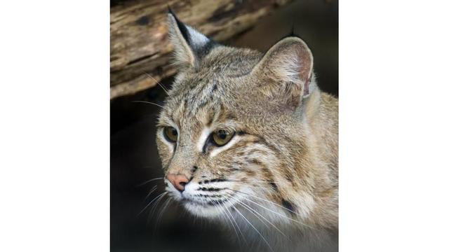 Bobcat escapes from National Zoo in Washington
